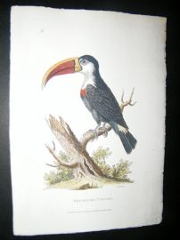 Shaw C1800's Antique Hand Col Bird Print. Red Billed Toucan